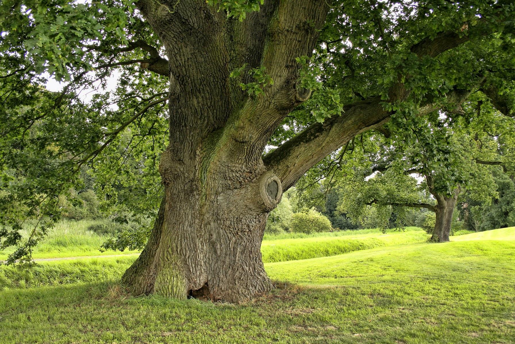 Periodo Migliore Per Potare Quercia quercia - descrizione, specie, corteccia di quercia